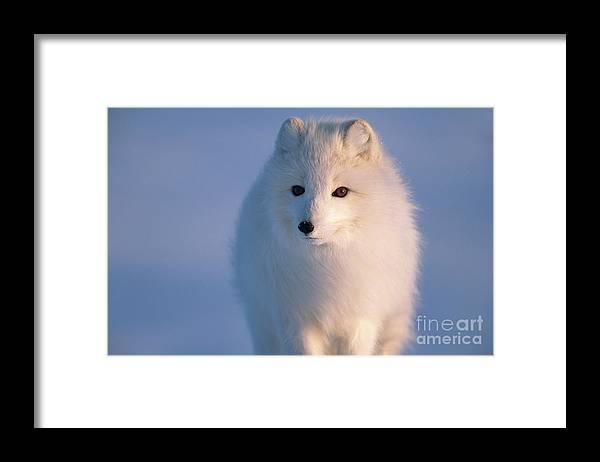 00342972 Framed Print featuring the photograph Arctic Fox, Alaska by Yva Momatiuk and John Eastcott