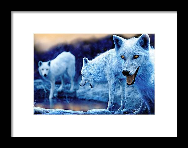 Wolf Framed Print featuring the photograph Arctic White Wolves by Mal Bray