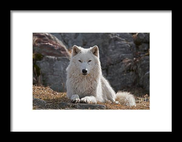 Arctic Wolf Greeting Cards Framed Print featuring the photograph Arctic Wolf Pictures 518 by World Wildlife Photography