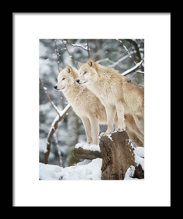 Snow Framed Print featuring the photograph Arctic Wolves Pack In Wildlife, Winter by 4fr