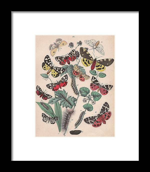 Butterfly Framed Print featuring the drawing Arctlidae by W Kirby