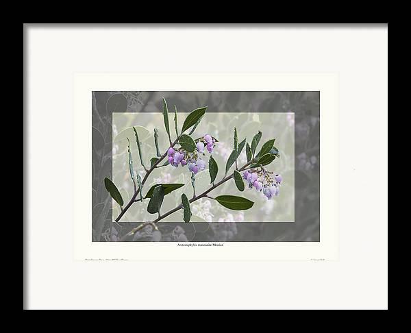 Manzanita Framed Print featuring the photograph Arctostaphylos Manzanita 'monica' by Saxon Holt