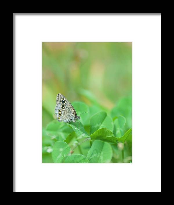 Insect Framed Print featuring the photograph Argus Rings Butterfly by Polotan