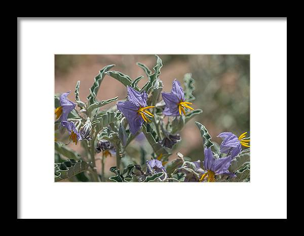 Verde Valley Framed Print featuring the photograph Arizona Silverleaf Nightshades by Aaron Burrows