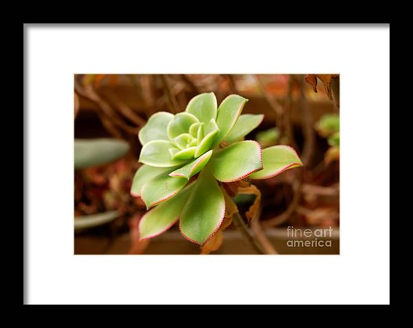 Artichoke Framed Print featuring the photograph Artichoke Bloom by Andrea Aycock