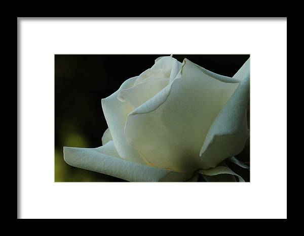 Rose Framed Print featuring the photograph Artistry In Bloom by Laddie Halupa