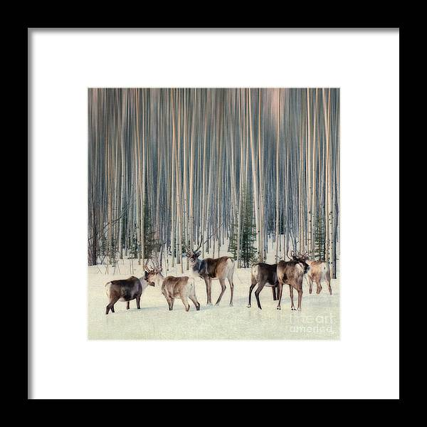 Woodland Caribou Framed Print featuring the photograph Caribou And Trees by Priska Wettstein