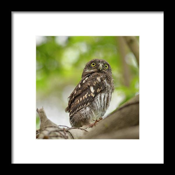 Owlet Framed Print featuring the photograph Asian Barred Owlet by Boti