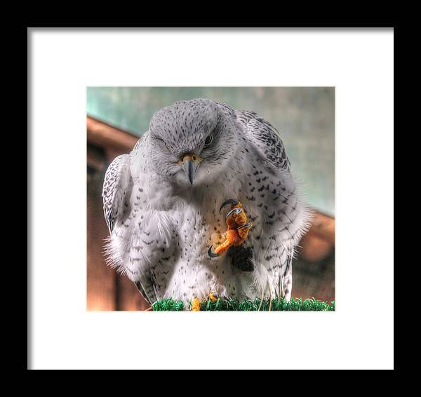 Falcon Framed Print featuring the photograph Attention by Jason Abington