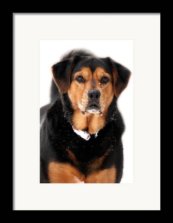 Black Lab Framed Print featuring the photograph Attentive Labrador Dog by Christina Rollo