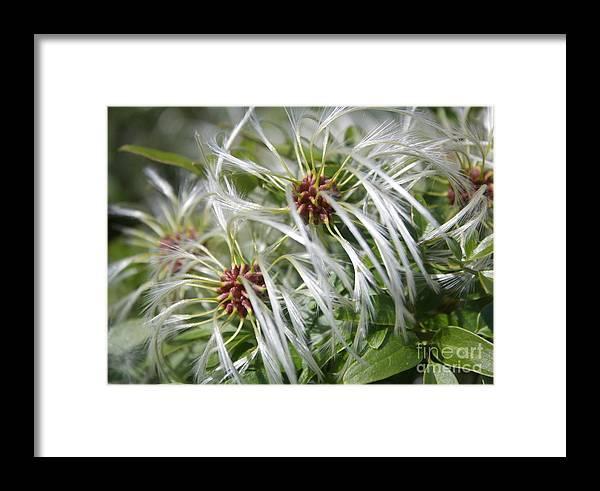 Australian Flower Framed Print featuring the photograph Australian Beach Flowers by Amanda Holmes Tzafrir