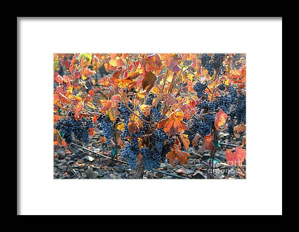 Autumn Grapes Framed Print featuring the photograph Autumn Grapes by Carol Groenen