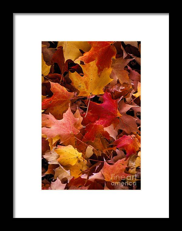 Robert Treman State Park New York Maple Leaves Colored Leaf Autumn Fall Framed Print featuring the photograph Autumn Maples by Bob Phillips