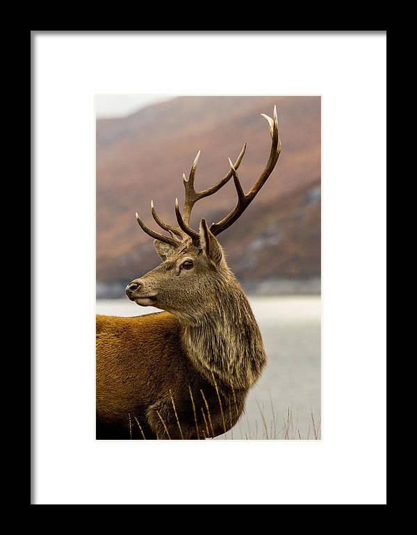 Alert Framed Print featuring the photograph Autumnal Stag by Derek Beattie