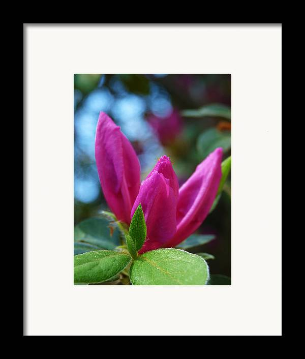 Flower Framed Print featuring the photograph Azalea Bud by Terry Eve Tanner