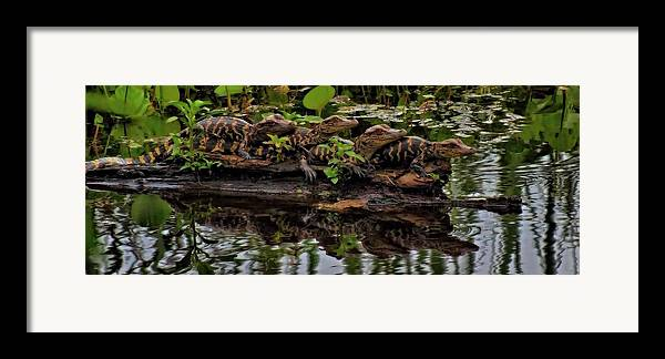 Baby Alligators Reflection Framed Print featuring the photograph Baby Alligators Reflection by Dan Sproul