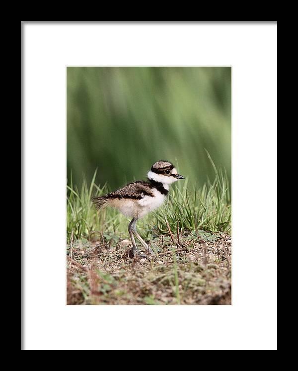 Killdeer Framed Print featuring the photograph Baby - Bird - Killdeer by Travis Truelove