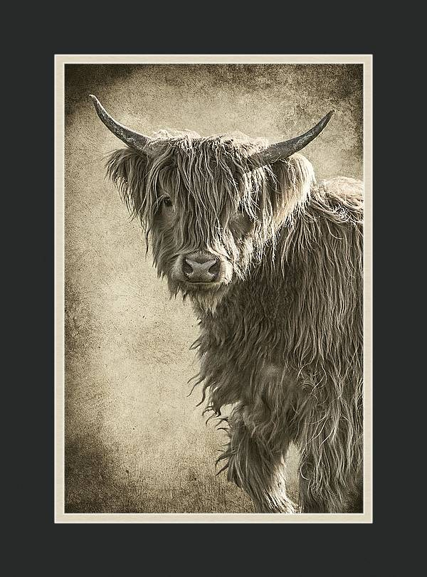 Baby Highland by Wes and Dotty Weber