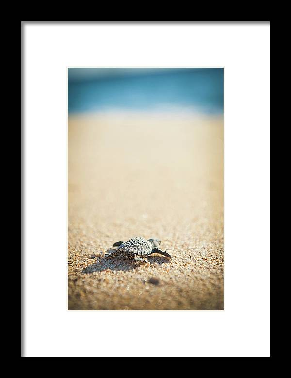 Shadow Framed Print featuring the photograph Baby Pacific Green Sea Turtle Heads For by Stephen Simpson