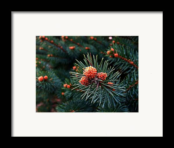 Pine Cones Framed Print featuring the photograph Baby Pinecones by Julie Dant