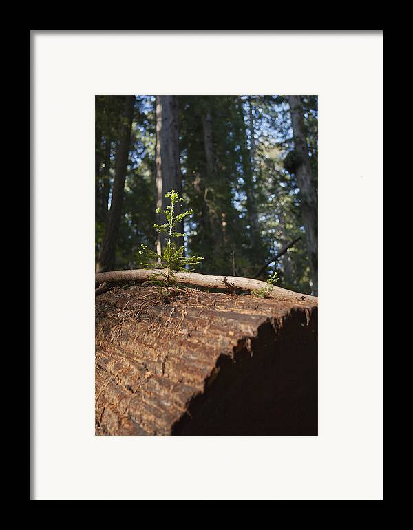 Sequoia Sempervirens (pronounced /sɨˈkɔɪ.ə Sɛmpərˈvaɪrənz/)[1] Is The Sole Living Species Of The Genus Sequoia In The Cypress Family Cupressaceae (formerly Treated In Taxodiaceae). Common Names Include Coast Redwood Framed Print featuring the photograph Baby Redwood by Joel Moranton