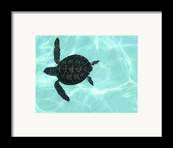 Baby Sea Turtle Framed Print featuring the photograph Baby Sea Turtle by Ellen Henneke