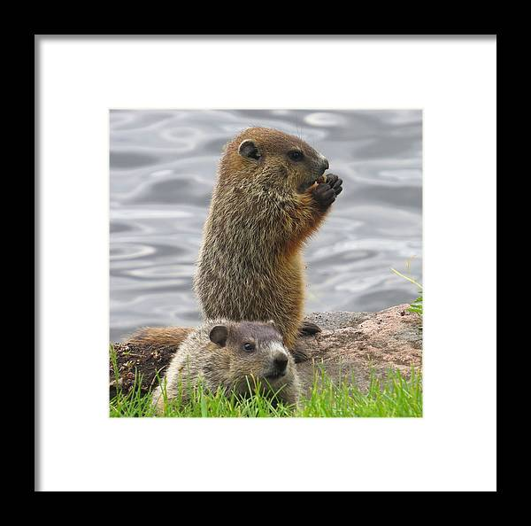Animals Framed Print featuring the photograph Baby Woodchucks by Alex Call