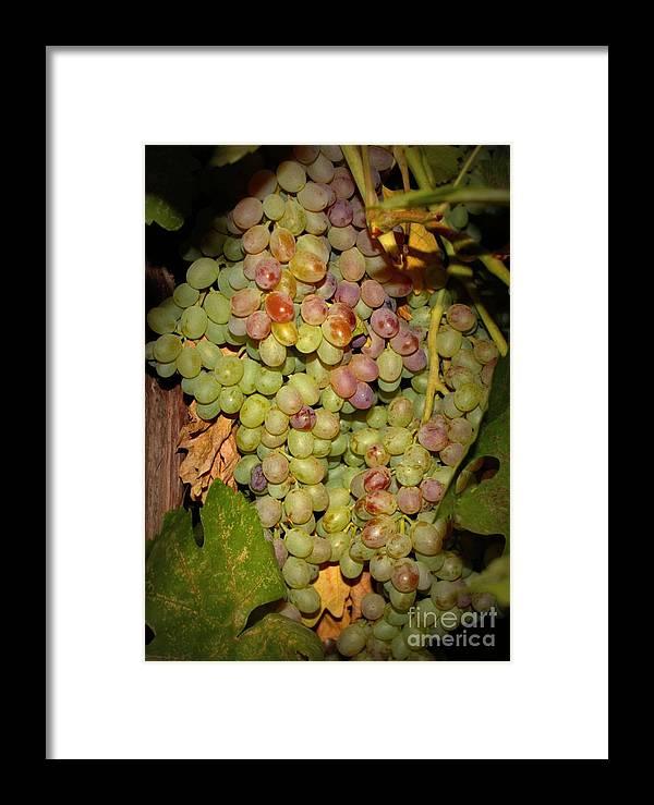 Fruits Framed Print featuring the photograph Backyard Garden Series -hidden Grape Cluster by Carol Groenen