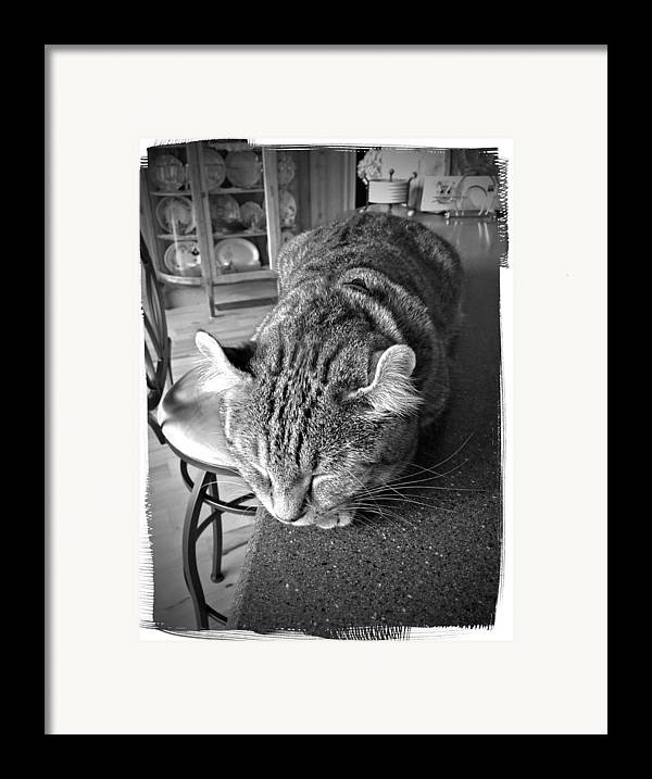 A Gray Tabby Highlander Lynx Cat Asleep On The Kitchen Counter. Framed Print featuring the photograph Bad Cat by Susan Leggett