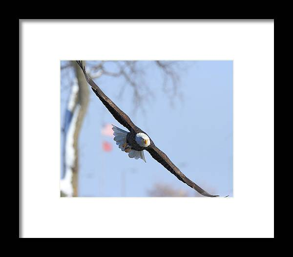 American Bald Eagle Framed Print featuring the photograph Bald Eagle And Flag by Coby Cooper