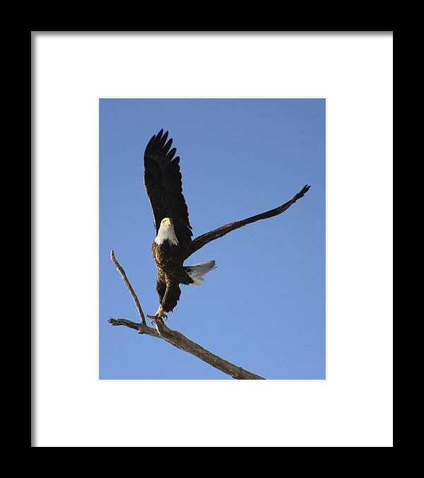 Bald Eagle Release Framed Print featuring the photograph Bald Eagle Ascent 2 by Roger Rekstad