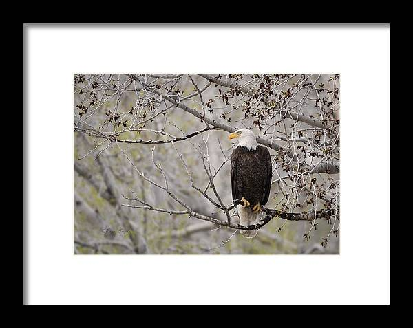 Beautiful Framed Print featuring the photograph Bald Eagle At Belfry Mt by Roger Snyder