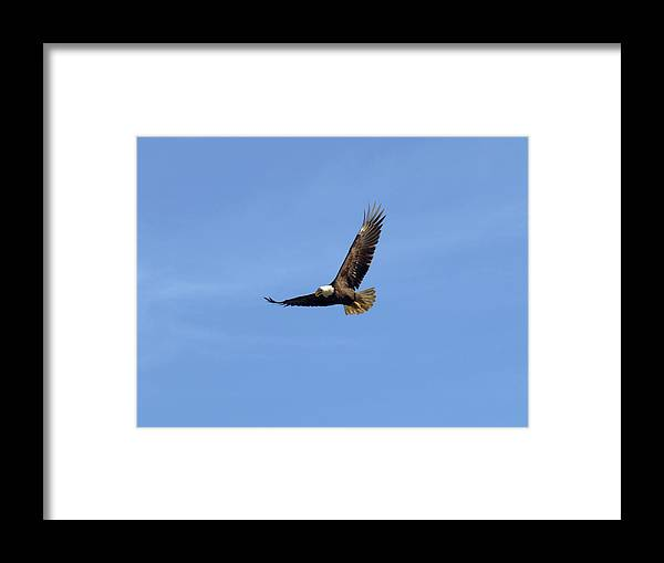 Eagle Framed Print featuring the photograph Bald Eagle Flying in the Blue Sky by Jessica Foster