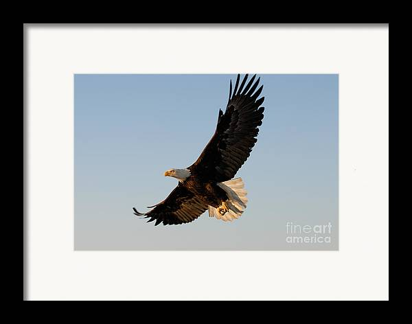 Animal Framed Print featuring the photograph Bald Eagle Flying With Fish In Its Talons by Stephen J Krasemann