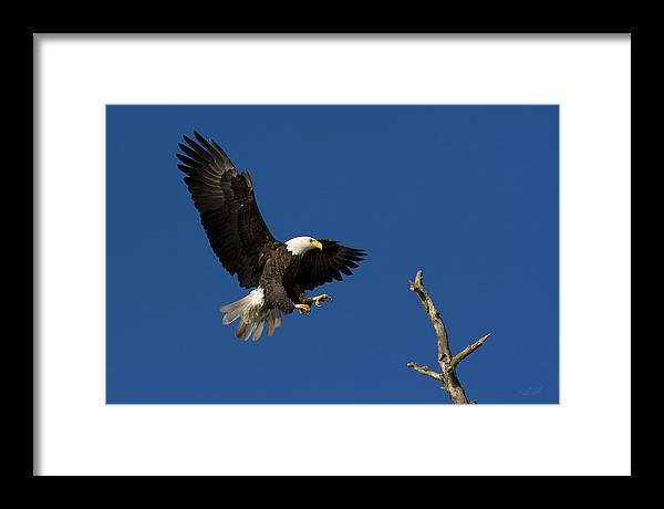 Bald Framed Print featuring the photograph Bald Eagle Landing On Snag by Brent Flint