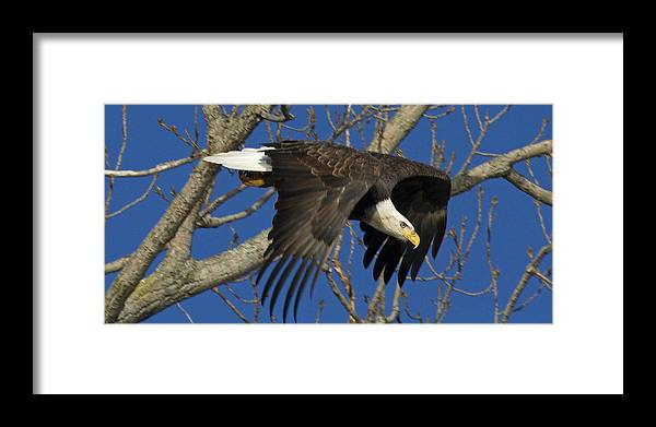 American Bald Eagle Framed Print featuring the photograph Bald Eagle Launch 1 by Eric Mace