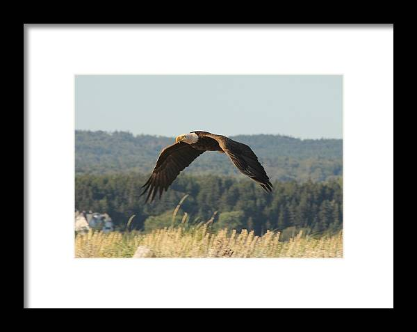 Bald Eagle Framed Print featuring the photograph Bald Eagle by Liam Brennan