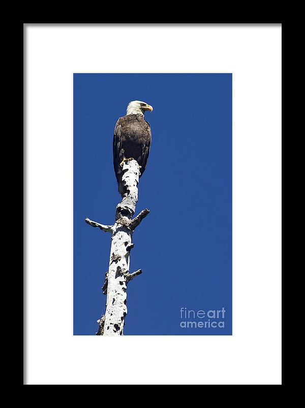 Bird Framed Print featuring the photograph Bald Eagle On A Perch  #2698 by J L Woody Wooden