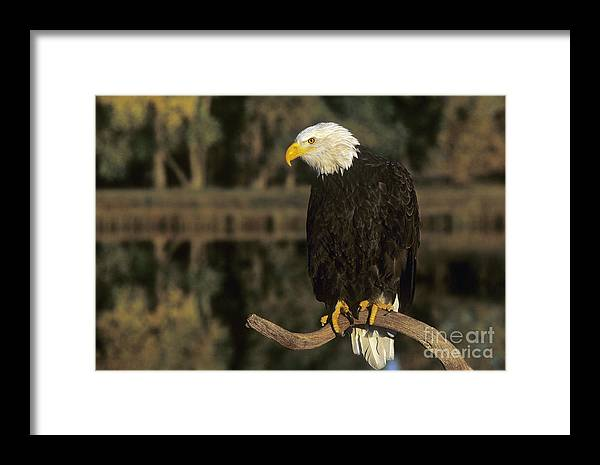 Bald Eagle Framed Print featuring the photograph Bald Eagle On Dead Snag Wildlife Rescue by Dave Welling