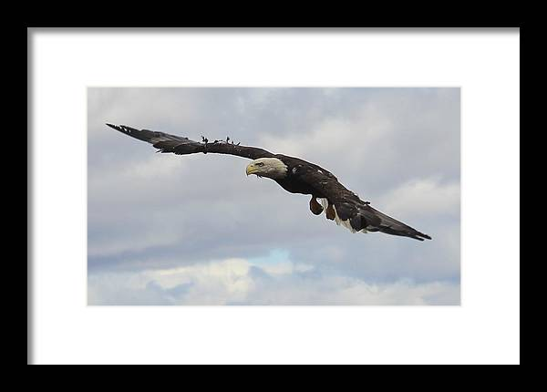 Bald Eagle Release Framed Print featuring the photograph Bald Eagle Release 2 by Roger Rekstad