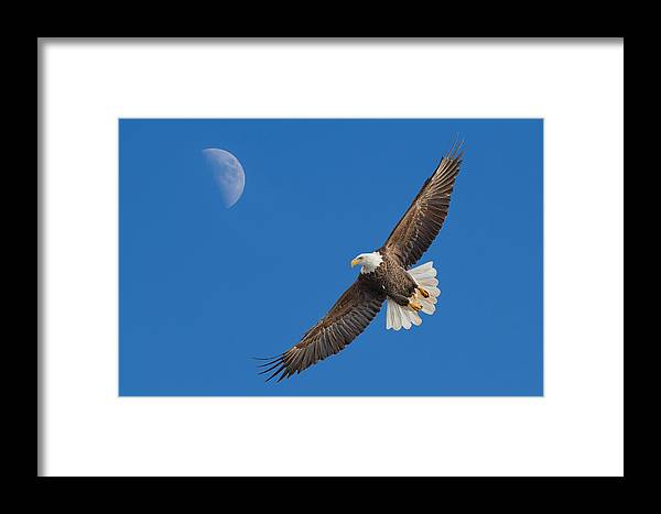 Bald Eagle Framed Print featuring the photograph Bald Eagle Soaring With The Moon by Martin Belan
