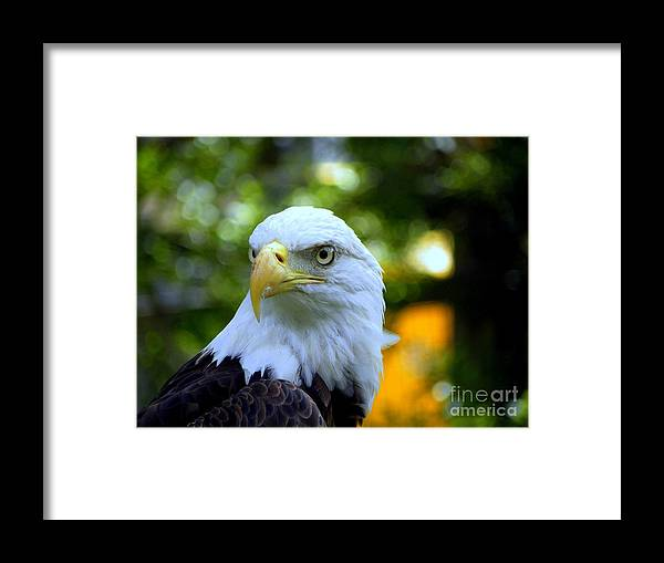 Bald Framed Print featuring the photograph Bald Eagle by Terri Mills