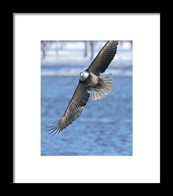 American Bald Eagle Framed Print featuring the photograph Bald Eagle Turn by Coby Cooper
