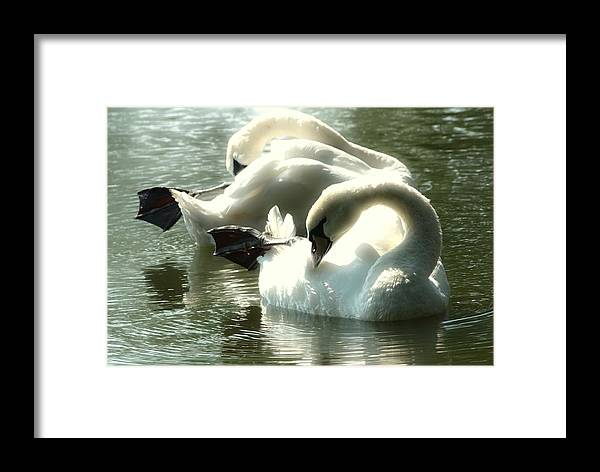 Nature Framed Print featuring the photograph Ballet Of Swans by Nick Difi