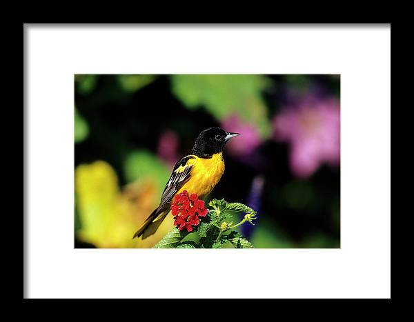 Avian Framed Print featuring the photograph Baltimore Oriole (icterus Galbula by Richard and Susan Day