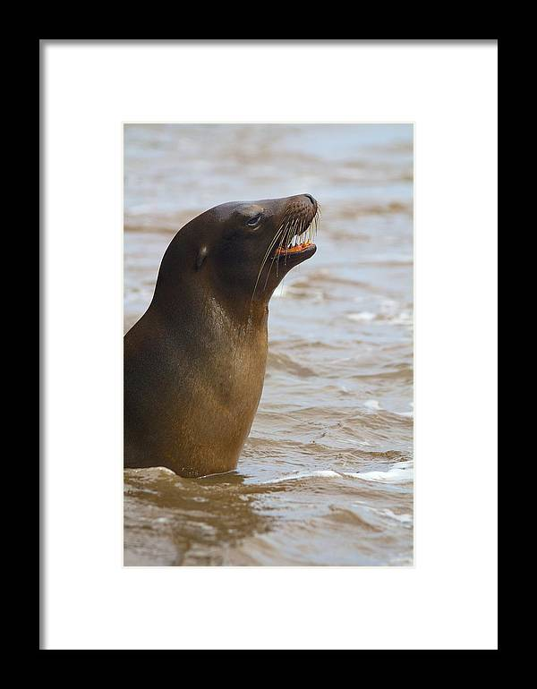 Sealion Framed Print featuring the photograph Barking Sealion by Allan Morrison