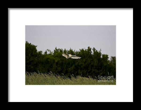 Barn Owl Framed Print featuring the photograph Barn Owl Hunting by Adam Beaney