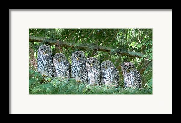 Owl Framed Print featuring the photograph Barred Owlets Nursery by Jennie Marie Schell