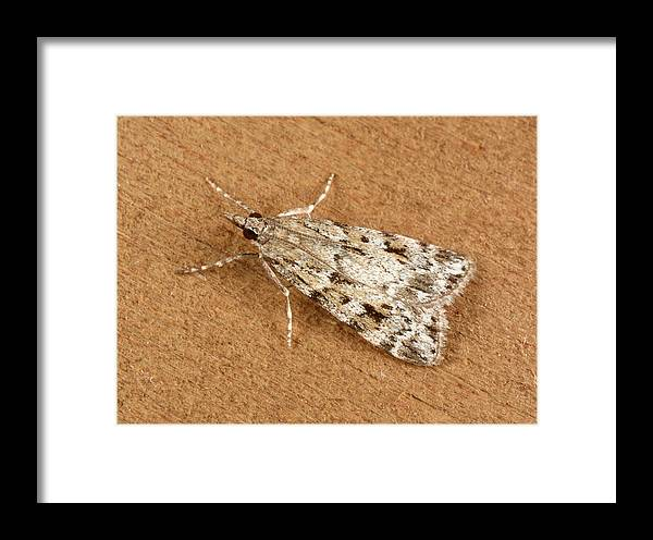 Animal Framed Print featuring the photograph Base-lined Grey Moth by Nigel Downer