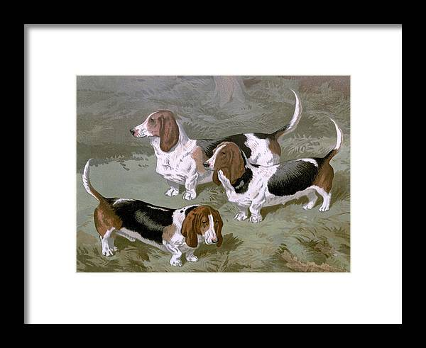 Basset Framed Print featuring the painting Basset Hounds by Charlie Ross